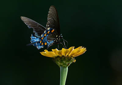 Pipevine Swallowtail Butterfly Photograph - Harmony 2 by Fraida Gutovich
