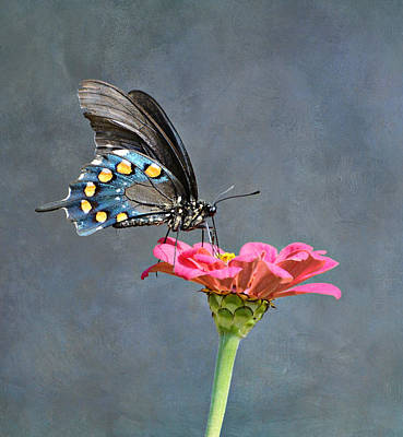 Pipevine Swallowtail Butterfly Photograph - Harmony 4 by Fraida Gutovich