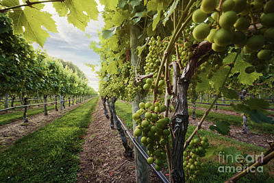 Photograph - Harmony Vineyard Stony Brook New York by Alissa Beth Photography