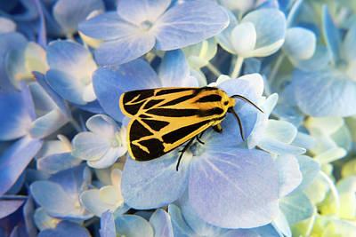 Photograph - Harnessed Tiger Moth On Hydrangea by Douglas Barnett