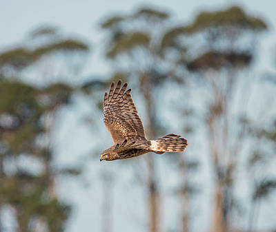 Photograph - Harrier Hen In Flight by Loree Johnson