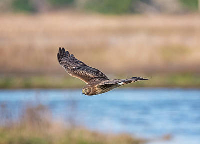 Photograph - Harrier Over The Marsh by Loree Johnson