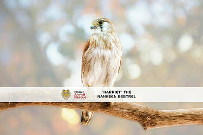Photograph - Harriet The Nankeen Kestrel, Native Animal Rescue by Dave Catley