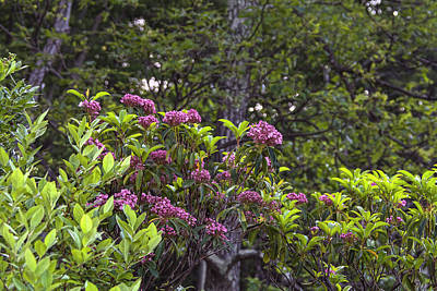 Photograph - Harriman Red Mountain Laurel by Angelo Marcialis