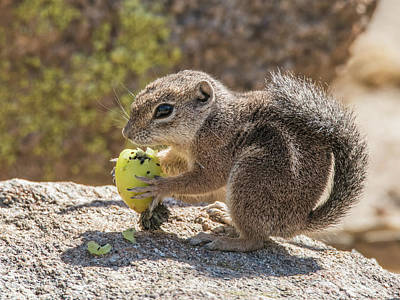 Photograph - Harris' Antelope Squirrel 9945 by Tam Ryan
