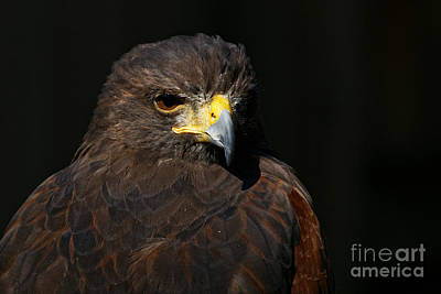 Photograph - Harris Hawk - Aloof by Sue Harper
