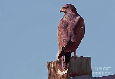 Photograph - Harris Hawk by Anne Rodkin