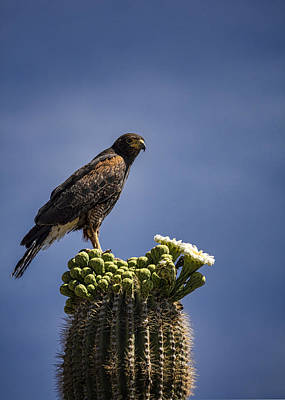 Harris Hawk Photograph - Harris Hawk Atop A Saguaro  by Saija Lehtonen