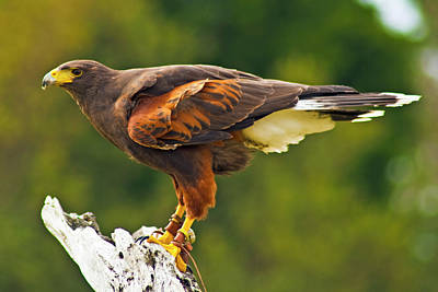 Photograph - Harris Hawk by Bill Barber