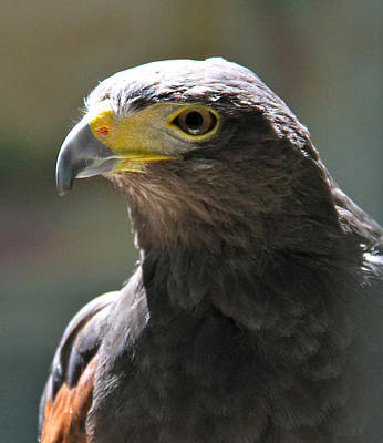 Photograph - Harris' Hawk by Ed  Riche