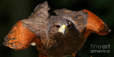 Photograph - Harris Hawk - Getting Ready by Sue Harper
