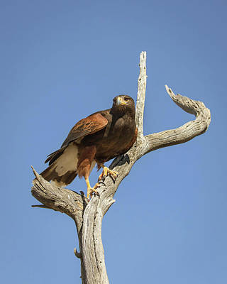 Photograph - Harris Hawk-img_347718 by Rosemary Woods-Desert Rose Images