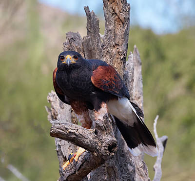 Photograph - Harris Hawk In The Sonoran Desert  by Kathleen Bishop