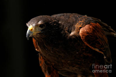 Photograph - Harris Hawk - Intense Stance by Sue Harper