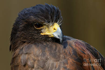Photograph - Harris Hawk - Intense by Sue Harper