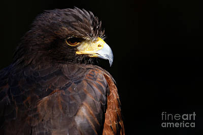 Photograph - Harris Hawk - Intensity by Sue Harper