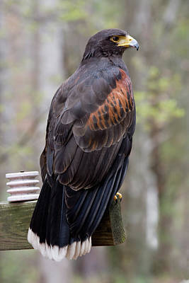 Photograph - Harris Hawk by Jill Lang