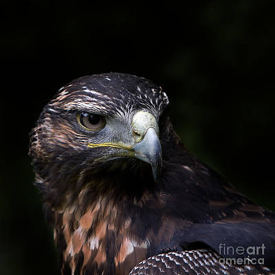 Harris Hawk Art Print by Joerg Lingnau