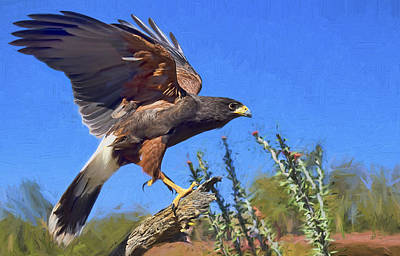 Harris Hawk Photograph - Harris Hawk by Nikolyn McDonald