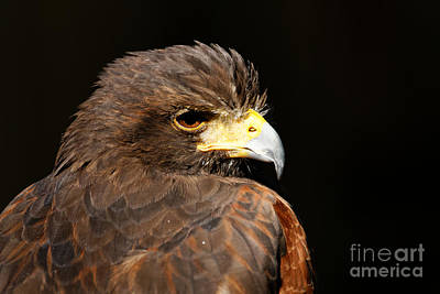 Photograph - Harris Hawk - Portrait by Sue Harper