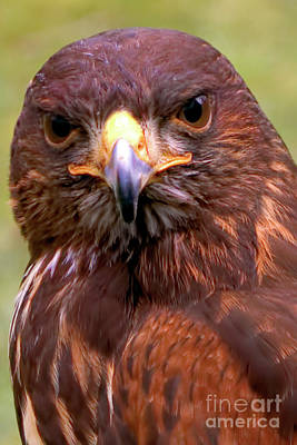Photograph - Harris Hawk Portriat by Stephen Melia