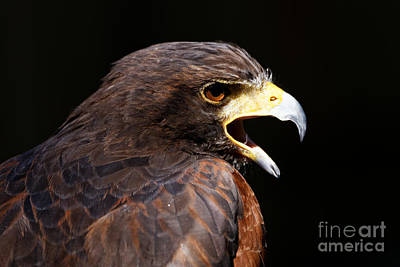 Photograph - Harris Hawk by Sue Harper