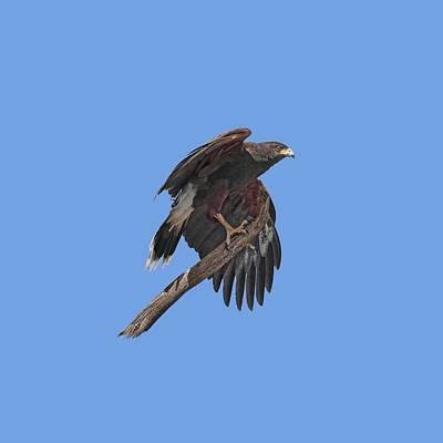 Harris Hawk - Transparent Art Print by Nikolyn McDonald