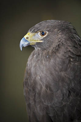 Photograph - Harris Hawk by Tyson and Kathy Smith
