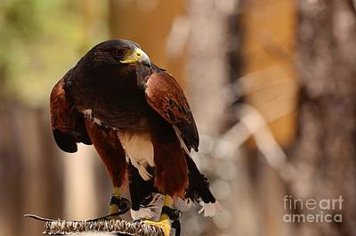 Photograph - Harris Hawk Watch by Debby Pueschel