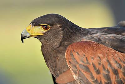 Photograph - Harris's Hawk by Alan Lenk