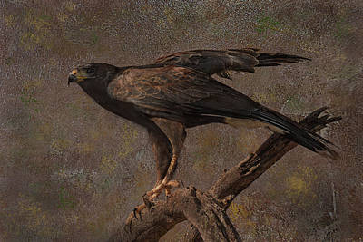 Photograph - Harris's Hawk by Barbara Manis