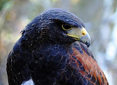 Photograph - Harris's Hawk by Debbie Oppermann