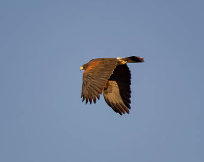 Photograph - Harris's Hawk H59 by Mark Myhaver