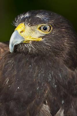 Harris's Hawk Parabuteo Unicinctus Original