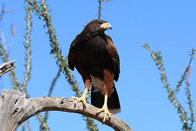 Photograph - Harris's Hawk Perched - 5 by Christy Pooschke