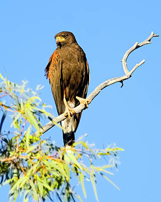 Photograph - Harris's Hawk V54 by Mark Myhaver