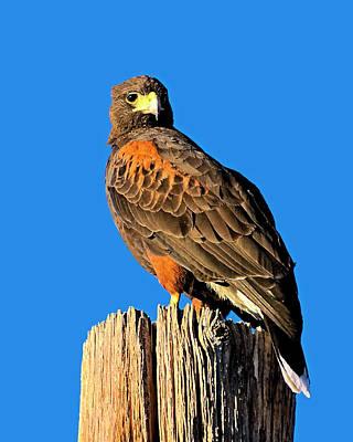 Photograph - Harris's Hawk V56 by Mark Myhaver