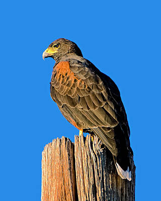Photograph - Harris's Hawk V58 by Mark Myhaver
