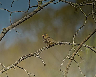 Photograph - Harris's Sparrow by Philip A Swiderski Jr
