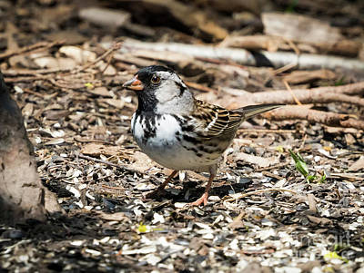 Photograph - Harris's Sparrow by Ricky L Jones