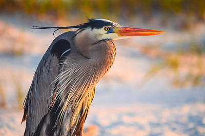 Photograph - Harry The Heron With Plumage Close-up by Jeff at JSJ Photography