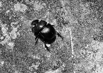 Harsh Life Black White Life Is Dung Beetle Card Art Print by Kathy Daxon