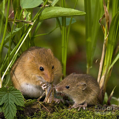 Mouse Photograph - Harvest Mice Eating Grasshopper by Jean-Louis Klein & Marie-Luce Hubert