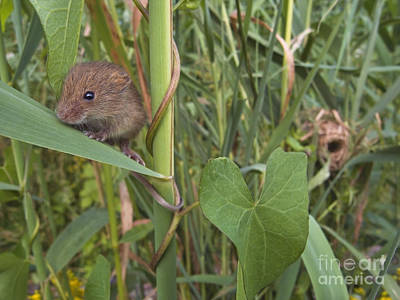 Mice Photograph - Harvest Mouse At Nest by Jean-Louis Klein & Marie-Luce Hubert