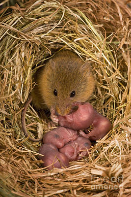 Mouse Photograph - Harvest Mouse Cleaning Pups by Jean-Louis Klein & Marie-Luce Hubert