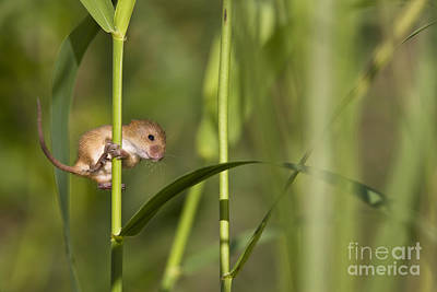 Mice Photograph - Harvest Mouse Climbing Plant by Jean-Louis Klein & Marie-Luce Hubert