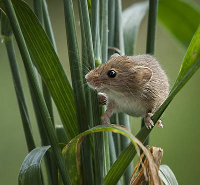 Harvest Mouse Close Up Art Print by Philip Pound