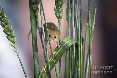 Harvest Mouse In Grass Art Print by Philip Pound