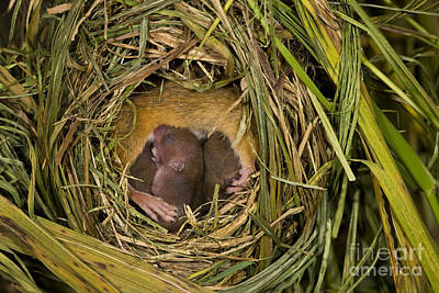 Mouse Photograph - Harvest Mouse Nursing Pups by Jean-Louis Klein & Marie-Luce Hubert