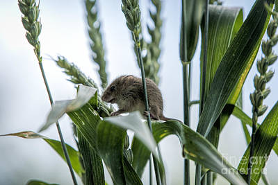 Harvest Mouse On Stalks Of Grass Art Print by Philip Pound